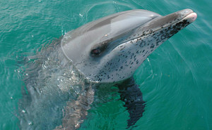 our-spotted-dolphins-472x295